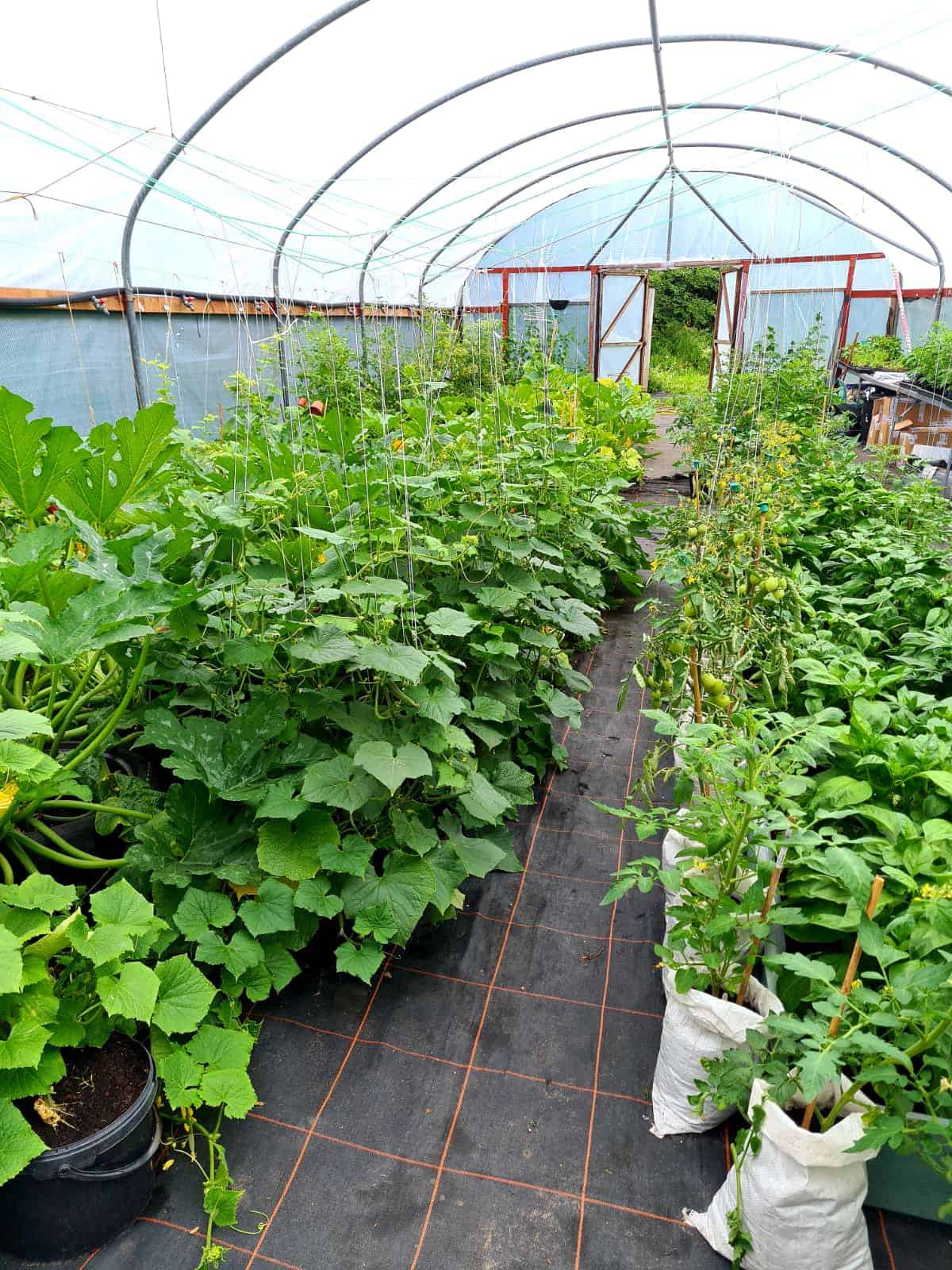 Another poly tunnel picture from Incredible Edible Knowsley by Kimpton