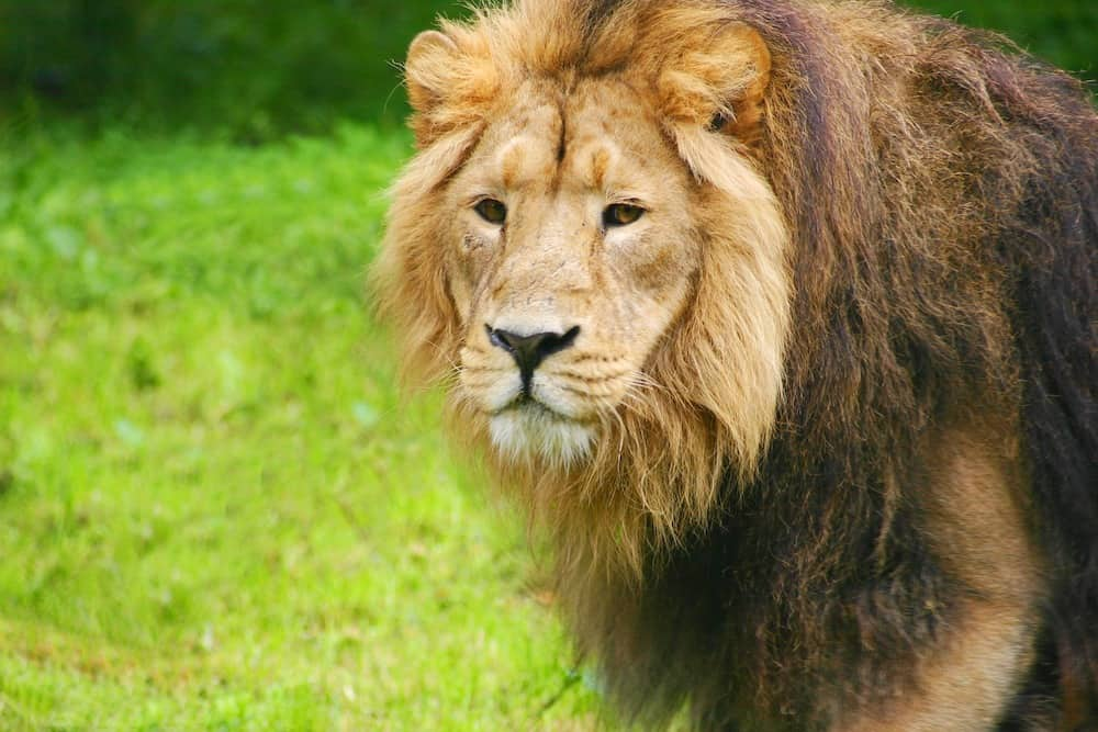 Maintenance Contract Renewal looking after the Lions at Chester Zoo