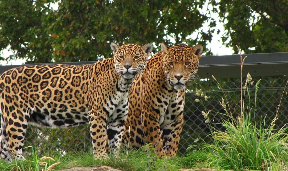Maintenance Contract Renewal looking after Panthera Onca at Chester Zoo, with ongoing maintenance by Kimptons