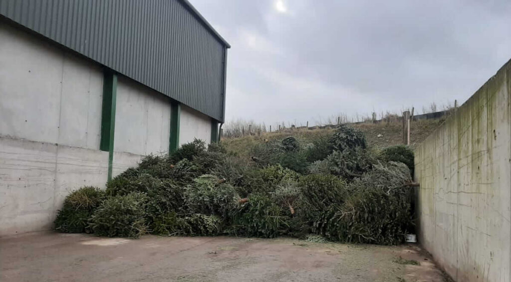 Pile of collected Christmas trees at Throncliffe